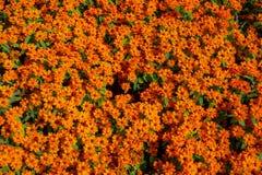 Gulliga orange zinniablommor royaltyfria foton