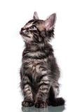Gulliga päls- Kitten Looking Up royaltyfri bild