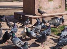 Gulliga par av duvan står i folkmassan av fåglar på gatan arkivfoton