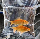 Gulliga par av fisken Fotografering för Bildbyråer