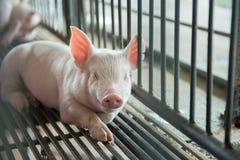 gulliga piglets Royaltyfri Fotografi