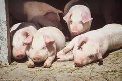 gulliga pigs Arkivfoto