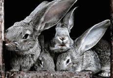 Gulliga, roliga, gråa, päls- tämjde kaniner i en bur Arkivfoton