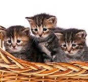 Gulliga siberian kattungar arkivfoton