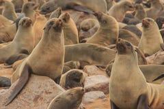 Gulliga skyddsremsor stojar på kusterna av Atlanticet Ocean i Namibia royaltyfria foton