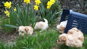 Gulliga små havanese puppys som för första gången undersöker trädgården arkivfilmer