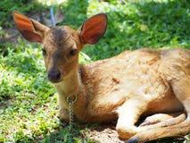 Gulliga små hjortar Fotografering för Bildbyråer