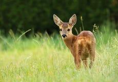 Gulliga små rådjur lismar Royaltyfri Fotografi