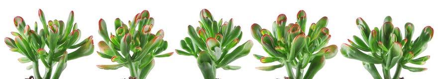 Gulliga små suckulentväxter som isoleras på vit Arkivfoton