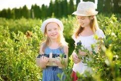 Gulliga små systrar som väljer nya bär på organisk blåbärlantgård på varm och solig sommardag Ny sund organisk mat för arkivbilder