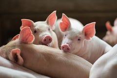 Gulliga spädgrisar för par i svinfarmen Arkivfoto