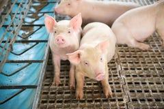 Gulliga spädgrisar i svinfarmen Fotografering för Bildbyråer