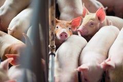 Gulliga spädgrisar i svinfarmen Arkivfoton