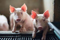 Gulliga spädgrisar i svinfarmen Arkivfoto