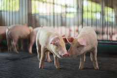 Gulliga spädgrisar i svinfarmen Royaltyfri Fotografi
