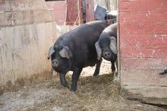 Gulliga ståendeskott av svin Arkivbilder
