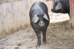 Gulliga ståendeskott av svin Royaltyfri Bild