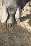 Gulliga ståendeskott av svin Royaltyfria Bilder