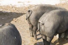 Gulliga ståendeskott av svin Royaltyfri Foto