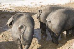 Gulliga ståendeskott av svin Arkivfoton