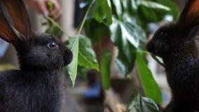 Gulliga svarta kaniner äter gröna sidor i en penna i ett skjul Åkerbrukt och att föda upp lantgårddjur, kaninlantgård arkivfilmer
