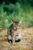 Gulliga Tabby Gray Cat Kitten Washes Its Muzzle royaltyfria foton