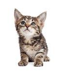 Gulliga Tabby Kitten Over White Fotografering för Bildbyråer