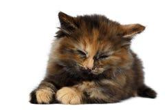 Gulliga Tortie Kitten Lies med stängda ögon på vit bakgrund arkivfoto