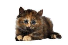 Gulliga Tortie Kitten Lies på vit bakgrund fotografering för bildbyråer