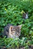 Gulliga unga katter i gräs och växt av släkten Trifolium Royaltyfri Fotografi
