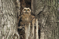 Gulliga unga stora Horned Owl In Old Tree Royaltyfri Foto