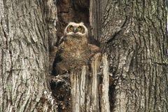 Gulliga unga stora Horned Owl In Old Tree Royaltyfri Foto