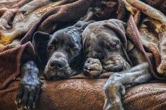 Gulliga valpar för sömn royaltyfria bilder