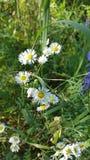Gulliga vita blommor Arkivfoto