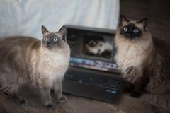 Gulliga vita katter Royaltyfri Foto