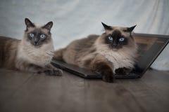 Gulliga vita katter 3 Arkivfoton