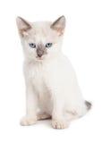 Gulliga vita Kitten Angry Expression Arkivbild