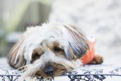 Gulliga Yorkshire Terrier som kopplar av på solstol royaltyfri fotografi
