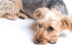 Gulliga Yorkshire Terrier som ner ligger Fotografering för Bildbyråer