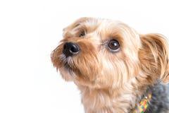 Gulliga Yorkshire Terrier som ser ägaren Arkivfoton