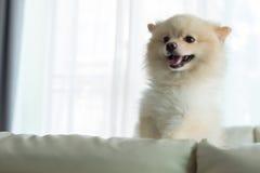 Gulligt älsklings- lyckligt leende för Pomeranian hund i hem royaltyfri bild