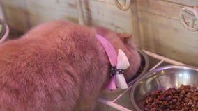 gulligt äta för katt arkivfilmer