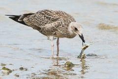 Gulligt äta för seagullfiskmåsar Arkivbild