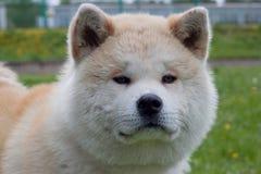 Gulligt akita inuslut upp Akita ken eller japan akita Royaltyfria Bilder