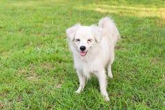 Gulligt anseende för maltese hund i gräs Royaltyfri Foto