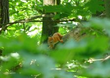 Gulligt anseende för röd ekorre på filialen av trädet Royaltyfri Fotografi