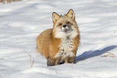Gulligt anseende för röd räv i snön Arkivbild