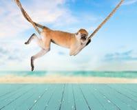 Gulligt apadjur på rep på havsbakgrund Arkivfoton