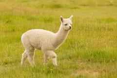 Gulligt behandla som ett barn alpaca på grönt exponeringsglas Royaltyfri Fotografi