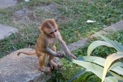 Gulligt behandla som ett barn apan spelar med bladet arkivbild